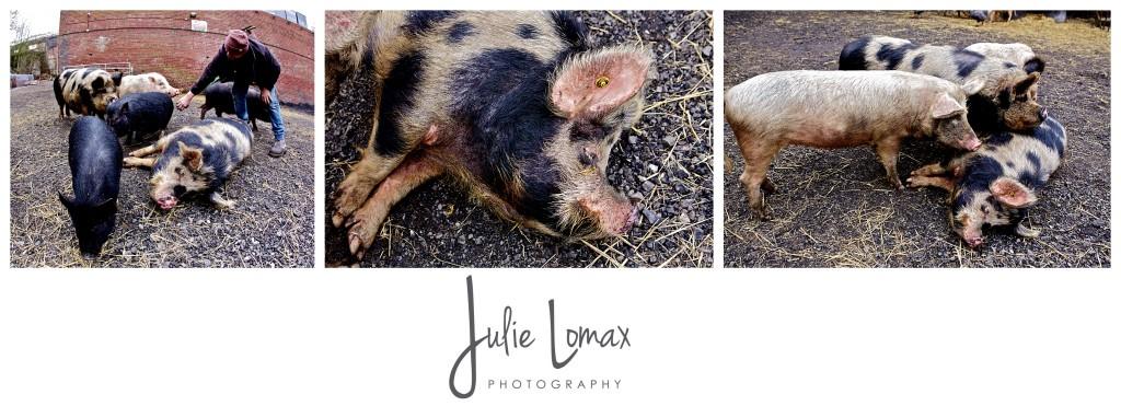Pigs_0052