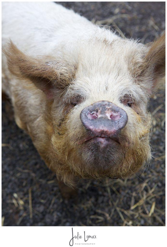 Pigs_0053