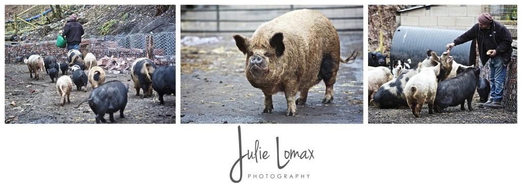 Pigs_0056
