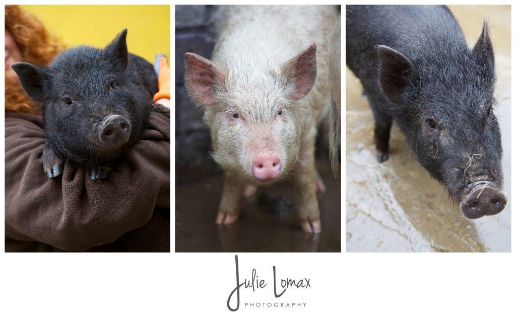 Pigs_0058