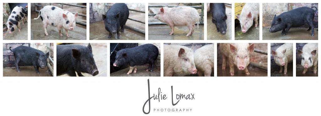 Pigs_0059