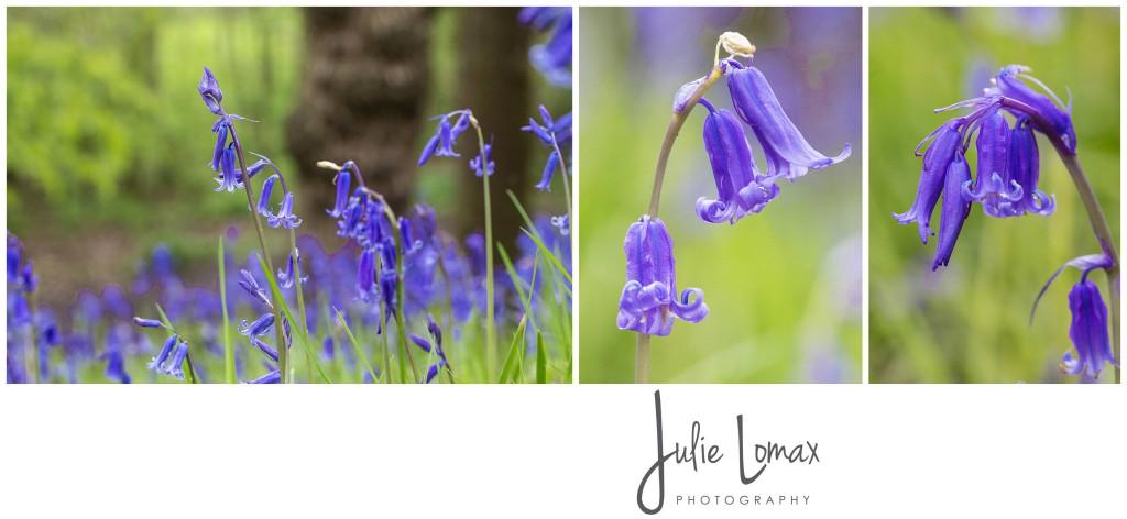 Bluebells Photographer julie lomax 07879011603_0001